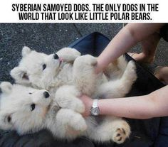Siberian Samoyed Dogs. The only dogs in the world that look like little polar bears