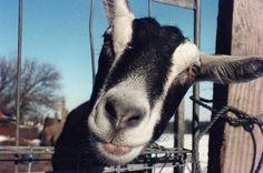 https://flic.kr/p/FYRBp | Heidi | A friend's pet goat.