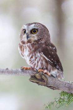 by Cornell Gill / 500px Harry Potter, Cute Owl, Wild Birds, Animals, Owls, Explore, Inspiration, Frames, Drawings