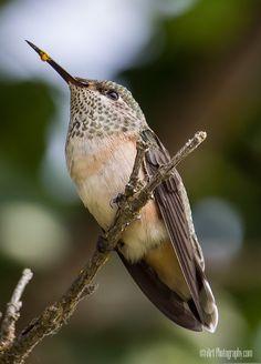 Northern Idaho Hummingbird by Terry Schikosky on 500px