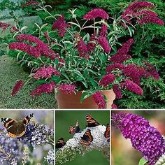 4-DWARF-BUZZ-PATIO-BUDDLEIA-BUTTERFLY-BUSH-MIXED-COLLECTION-PLANTS-IN-9cm-POTS