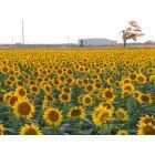 Salina, KS : Sunflower Field by Kansas State University-Salina Salina Kansas, Salina Ks, Calendula, Kansas State University, Kansas City, Natural Architecture, Sunflower Pictures, Sunflower Fields, Travel And Leisure