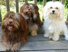 HavaHug Havanese Puppies www.havahughavanese.com
