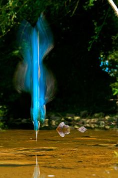 Blaze of Blue, Diving Kingfisher, England  •  photo by Charlie Hamilton James, National Geographic