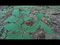 Where in the United States Does Wild Ginseng Root Grow?   Owlcation