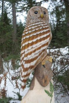Barred Hoot Owl- Originally only seen in the east, in the 20th century spread to the Pacific NW and southern California. These large stocky owls nest in tree cavities in large mature forests, often near water. Average life span in the wild 8-23 yrs..