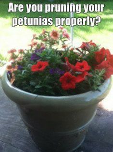 Gardening Flowers How to Prune Petunias - If grow petunias you know they get out of hand easily. This short tutorial will teach you how to prune them and keep them blooming and looking their best. Petunia Care, Petunia Plant, Petunia Flower, Growing Flowers, Growing Plants, Planting Flowers, Flowers Garden, Growing Vegetables, Flower Gardening