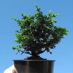 Compact Fernspray Cypress will grow to look like a fern. Really. #miniaturegarden #conifer