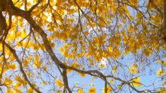 O canto dos pássaros e os ipês floridos