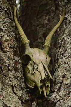 Deer skull in a tree