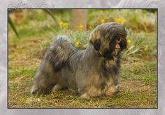 What a doll! Teddy Grahams, Pet Breeds, Lhasa Apso, Big Dogs, Shih Tzu, Fur Babies, Angel, Doll, Puppies