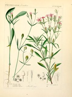 plants-16017 silene linicola, silene muscipula  botanical floral botany natural naturalist nature beautiful nice flora plants blooming ArtsCult.com Artscult ArtsCult vintage printable public domain 300 dpi commercial use 1800s 1700s 1900s Victorian Edwardian art clipart royalty free digital download picture collection pack paintings scan high qulity illustration old books pages supplies collage wall decoration ornaments Graphic engra