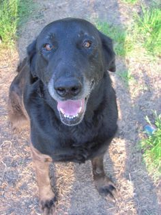***8/28/14 STILL LISTED***About Jade (senior) Typical loving Lab personality. Loves to romp and play in large outdoor yard with dog buddy Romey. Loves people the m...