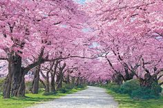 EPO-23-592 世界遺産 北上展勝地の桜並木-岩手 2016ピース Japanese Blossom, Cherry Blossom Japan, Cherry Blossoms, Pink Trees, Colorful Trees, Tree Tunnel, Nature Pictures, Beautiful Pictures, Japan Landscape