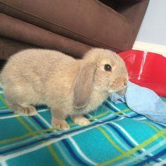 #peanutdiaries #minilop #bunny #rabbit #love #bunnylovers #bunnylife #dailyfluff #bunstagram #adorable #instabunny #instabunnies #rabbitsofig #floppy #ears #instagood #instalike #vsco #vscocam #vscogood #pets  #instadaily #binky #minilops #minilopbunny #cute #fluffy #baby #animals #petstagram by peanut_diaries