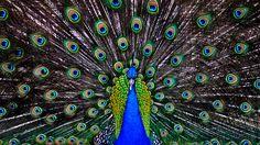 Birds Wallpaper Hd, Hummingbird Wallpaper, Peacock Wallpaper, Hd Wallpaper Desktop, Background Hd Wallpaper, Wallpaper Backgrounds, Peacock Images, Peacock Pictures, Pavo Real Albino
