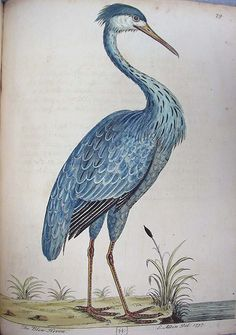 Blue Heron illustration by Eleazar Albin, from A Natural History of Birds…