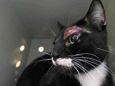 TO BE KILLED 04/11/15 HOGARTH – AKA – HALF –  A1032473  MANHATTAN NY URGENT!! PLEASE SHARE, PLEDGE, FOSTER, ADOPT THIS PRECIOUS BOY! INJURY HEALING. IT ONLY TAKES ONE PERSON TO SEE HIS PHOTO TO SAVE HIS LIFE!!