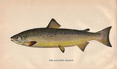 This chromolithograph is from the Report of the State Commissioners of Fisheries for 1896, published in 1897 by Clarence M Busche, State Printer of Pennsylvania.