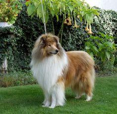 scotch collie dog photo | Scotch Collie dog on the grass photo and wallpaper. Beautiful Scotch ...