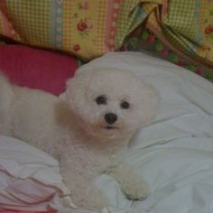 Our sweet Bichon Pearl