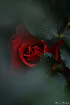 Advice on everything gardening Love Rose Flower, Beautiful Rose Flowers, Beautiful Flowers Wallpapers, Flowers Nature, Exotic Flowers, Amazing Flowers, Pretty Flowers, Red Flowers, Red Roses