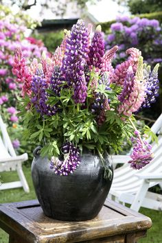 Clemmensen and Brok | lupins, come in all varieties of colours. Look stunning in this big pot.