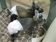 Shetland sheep lambs in a playpen. Adorable!