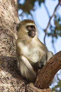 Vervet monkey in a tree, Samburu, Kenya