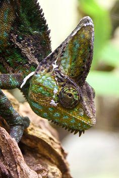 Green Chameleon ~ Oliver Kershaw ✿⊱╮