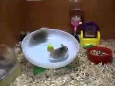 Two Hamsters using one wheel.