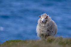 Sheep of Shetland Islands (Scotland) Although Shetlands are small and slow-growing compared to commercial breeds, they are hardy, thrifty, easy lambers, adaptable and long-lived. The breed has survived for centuries in difficult conditions and on a poor diet, so they thrive in better conditions. Shetlands retain many of their primitive survival instincts so they are easier to care for than many modern breeds.
