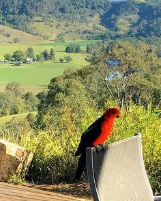 An early morning visitor #kingparrot #countrylife #barringtonriverorganicfarm