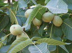 Kiváló, árnyékot adó fa. Később fordul termőre és nagyobb koronát nevel, mint az oltványok. Metszeni nem szokták.