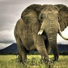 Majestic elephant so gorgeous .Credit :  @speaking_for_them -  . #elephant #elephants #elephantlove