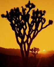 Desert Light by David Muench Joshua Tree, California Desert
