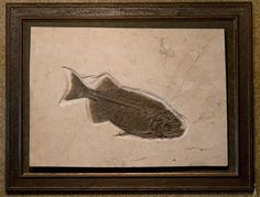 This beautiful framed piece contains the fossilized remains of a fish of the genus Phareodus. This fossil slab was recovered from the Green River Formation area of Wyoming – a region of extensive and clearly delineated layers of sedimentation that formed in a series of lakes in intermountain basins. Fossils caught in this sediment date back to a 6-million year stretch of the Eocene epoch, several tens of millions of years ago.