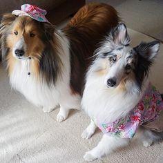 わんハピネスさん(@onehappiness)に頼んでたイブのお洋服が届きました🎵 ピンクのアロハ生地ワンピース♡セットで付いてた帽子、ルティにあまりにも似合ってて笑える〜🤣‼️ * Eve's new clothes♡ Ruty's hat🤣‼️ * #sheltie  #sheltielove #sheltiegram #instadogs #sheltiesofinstagram #sheltiesofig #shetlandsheepdog #シェットランドシープドッグ #シェルティ #シェルティー #シェルティルティイブ #シェルティ大好き #シェルティブルーマール #ブルーマール  #インスタドッグ #愛犬  #lovedogs  #仲良しさん #sonyα5100  #α5100