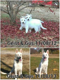 White GSD's as puppies then at 1yr.