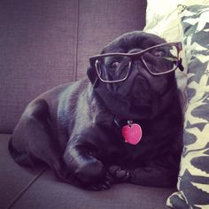 Hipster pug is too cool