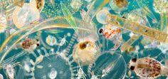 Phytoplankton. Photo courtesy of planktonpundit.org.