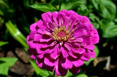 Zinnia (Zinnia Elegans) blooming in our bulb gardens this summer!