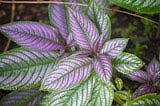 Persian Shield (Strobilanthes dyerianus) - Iridescent, Colorful Foliage.  Even when grown as an annual, Strobilanthes make an eye-catching addition to borders and containers. Bring a plant or two indoors, and grow as houseplants through the winter.