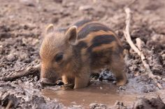 """Tiny warthog cooling off in a tiny mud puddle"""