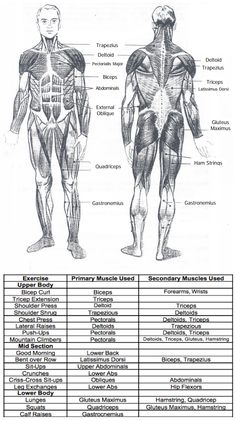 major muscle groups. exercises and which muscles they work.