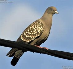 SPOT-WINGED PIGEON (Patagioenas maculosa) - Google Search