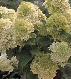 Shrubs for Seasonal Interest, Attracting Birds and All Around Beauty: 'Limelight' Hydrangea (Hydrangea paniculata 'Limelight' pp#12,874)