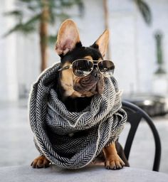 To be a French Bulldog who's this fabulous, it must become a lifestyle ; ) #buldog