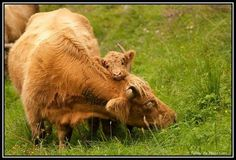 Cute photo of a Highland cow and her calf