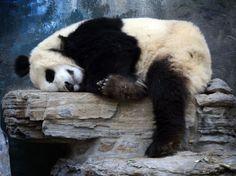 Un panda au zoo de Pékin, le 22 mai.